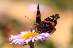 Schmetterling des roten Admirals, Vanessa-atalanta Lizenzfreie Stockfotografie