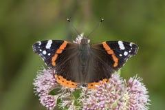 Schmetterling des roten Admirals, Vanessa-atalanta, bestäubend Lizenzfreies Stockfoto