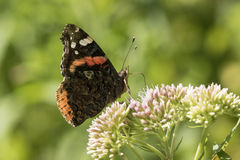 Schmetterling des roten Admirals, Vanessa-atalanta, bestäubend Stockbild