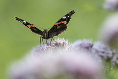 Schmetterling des roten Admirals, Vanessa-atalanta, bestäubend Lizenzfreie Stockbilder