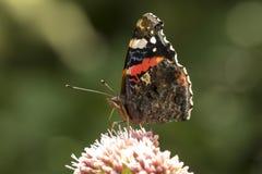 Schmetterling des roten Admirals, Vanessa-atalanta, bestäubend Stockfotos