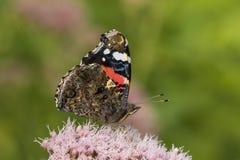 Schmetterling des roten Admirals, Vanessa-atalanta, bestäubend Lizenzfreies Stockbild