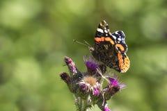 Schmetterling des roten Admirals, Vanessa-atalanta, Fütterungsnektar Stockbilder