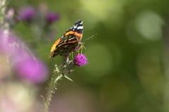 Schmetterling des roten Admirals, Vanessa-atalanta, Fütterungsnektar in einem en Lizenzfreie Stockfotografie