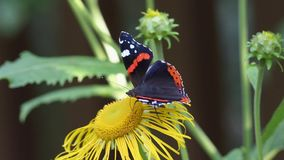Schmetterling des roten Admirals (Vanessa-atalanta) sammelt Nektar auf der Blume des echten Alants stock video