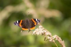 Schmetterling des roten Admirals, Vanessa-atalanta, stehend still Lizenzfreie Stockfotos