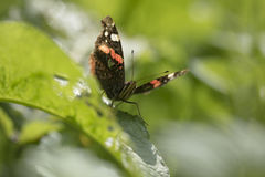 Schmetterling des roten Admirals, Vanessa-atalanta, stehend still Stockfotos