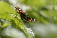 Schmetterling des roten Admirals, Vanessa-atalanta, stehend still Stockfotografie