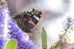 Schmetterling des roten Admirals, Vanessa-atalanta, ziehend ein Stockbilder