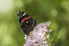 Schmetterling des roten Admirals, Vanessa-atalanta, ziehend ein Stockfotografie