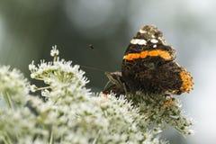 Schmetterling des roten Admirals, Vanessa-atalanta, ziehend ein Stockfotos