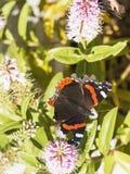 Schmetterling des roten Admirals, Vanessa Atlanta lizenzfreie stockfotografie