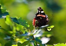Schmetterling des schwarzen und roten Admirals auf Eichenblatt Stockbild