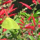 Schmetterling des Sommers Stockfotografie