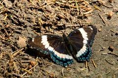 Schmetterling des weißen Admirals Lizenzfreie Stockfotos