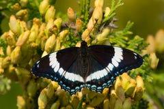 Schmetterling des weißen Admirals Lizenzfreies Stockbild