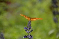 Schmetterling Dryas iulia Stockbild