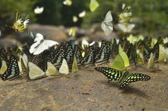 Schmetterling durch den Fluss im tropischen Wald, Thailand Stockfoto