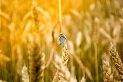 Schmetterling in einem Weizen Lizenzfreie Stockfotografie