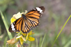 Schmetterling - einfacher Tiger stockbild