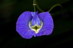Schmetterling-Erbsenblume Lizenzfreie Stockfotos