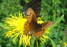 Schmetterling Erebia-Medusa Lizenzfreies Stockfoto