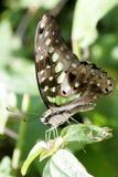 Schmetterling in Florida Lizenzfreie Stockfotografie