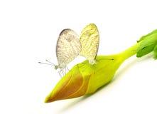 Schmetterling gehockt Lizenzfreie Stockfotos