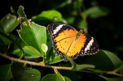 Schmetterling gehockt auf Baum Stockbilder