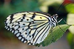 Schmetterling gehockt auf grünem Blatt Stockfoto
