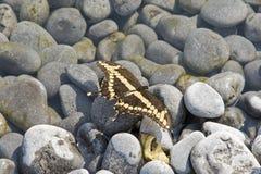 Schmetterling gehockt auf Steinkieseln Stockbilder