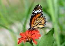 Schmetterling (gemeiner Tiger) Lizenzfreie Stockbilder