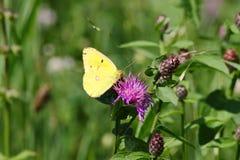 Schmetterling goldene acht Lizenzfreie Stockfotos