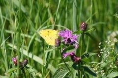 Schmetterling goldene acht Stockfotografie