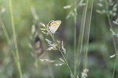 Schmetterling golubyanka auf einem Ährchen des Grases stockfotos