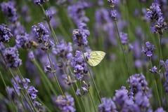 Schmetterling im Lavendel Stockfoto