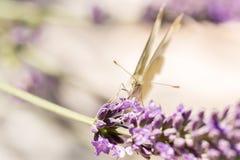 Schmetterling im Lavendel stockfotos