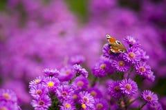 Schmetterling Inachis io auf purpurroten Blumen Lizenzfreie Stockfotos