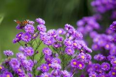 Schmetterling Inachis io auf purpurroten Blumen Lizenzfreies Stockfoto