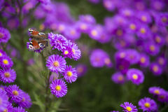 Schmetterling Inachis io auf purpurroten Blumen Stockfotos