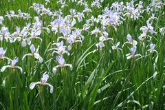 Schmetterling irises in voller Blüte im Garten Stockbild