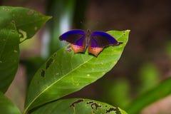 Schmetterling, königliches Assyrian Terinos-terpander Stockbild