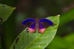 Schmetterling, königliches Assyrian Terinos-terpander Lizenzfreies Stockfoto