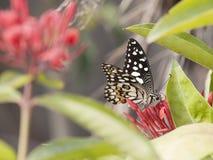 Schmetterling Kalkschmetterling Papilio Demoleus lizenzfreie stockfotos