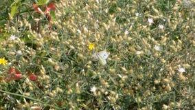 Schmetterling kapustyanka stock video