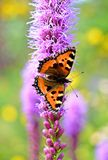Schmetterling (kleines Schildpatt) sitzend auf einer purpurroten Blume Lizenzfreie Stockfotografie