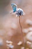 Schmetterling Lysandra Lellargus Lizenzfreies Stockfoto