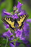 Schmetterling machaon oder gelbes swallowtail auf einer Gruppe der Glockenblume lizenzfreies stockfoto