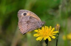 Schmetterling maniola jurtina Stockfotos