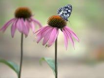 Schmetterling Melanargia-galathea auf einer EchinÃ-¡ cea-purpúrea Blume stockbild